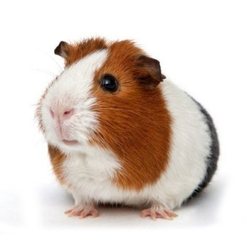 Cuy / Cobayos guinea pig