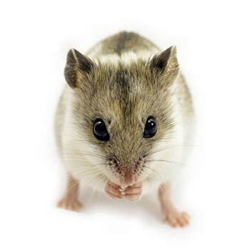 Hamster (Golden, Chino y Ruso)